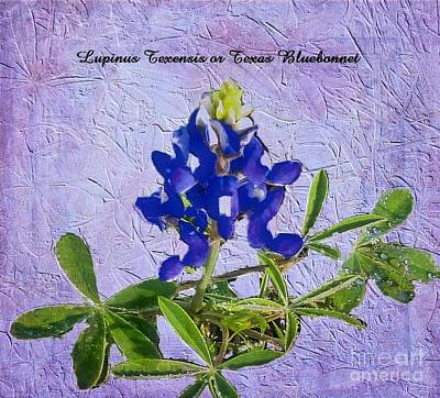 Photograph - Texas Bluebonnet by Janette Boyd