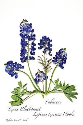 Photograph - Texas Bluebonnet by Roberta Jean Smith