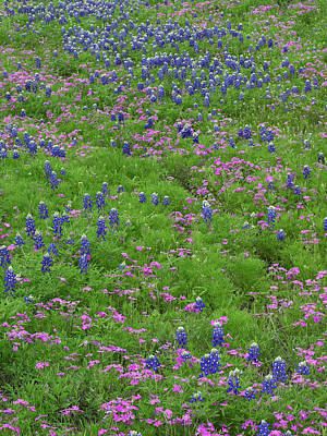 Texas Bluebonnets And Pointed Phlox Art Print