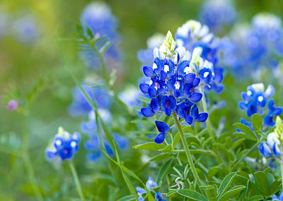 Photograph - Texas Bluebonnets by Rospotte Photography