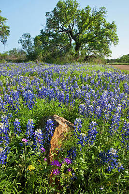 Bluebonnet Photograph - Texas Bluebonnets (lupinus Texensis by Larry Ditto