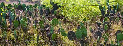 Photograph - Texas Cactus  by John McGraw
