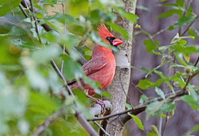 Photograph - Texas Cardinal by John Black