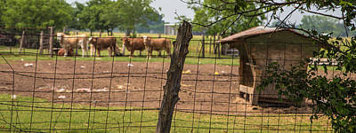 Photograph - Texas Cattle  by John McGraw