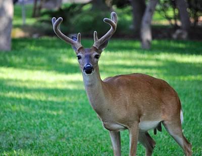 Photograph - Texas Deer by Kristina Deane