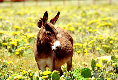 Photograph - Texas Donkey In Yellow Cacti by Linda Cox