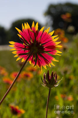 Photograph - Texas Indian Blanket  by Jim McCain