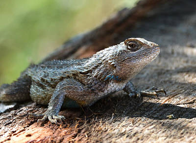 Photograph - Texas Lizard by John Johnson