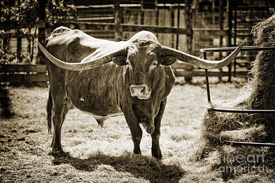 Photograph - Texas Longhorn Bull For Breeding In  Sepia 3089.01 by M K  Miller