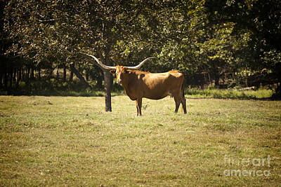 Photograph - Texas Longhorn Cattle Standing In A Pasture In Color 3096.02 by M K  Miller