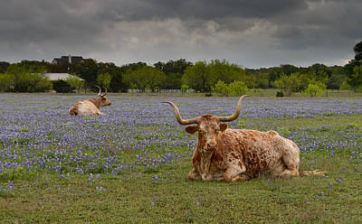 Photograph - Texas Longhorns by John Johnson