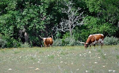 Photograph - Texas Longhorns by Kristina Deane