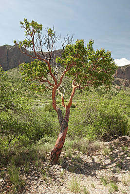 Big Bend National Park Photograph - Texas Madrone (arbutus Xalapensis by Larry Ditto