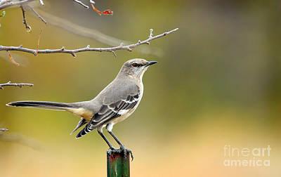 Photograph - Texas Mockingbird by David Cutts