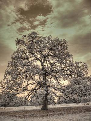 Texas Oak Tree Art Print