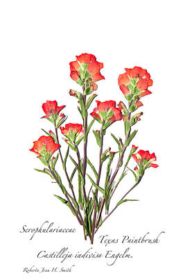 Texas Paintbrush 2 Art Print
