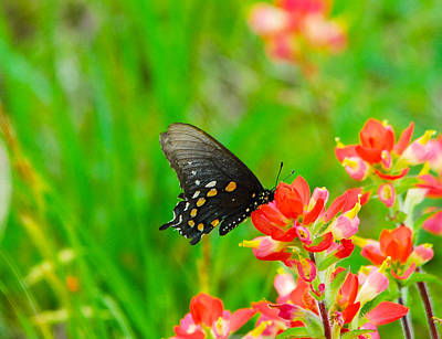 Flower Photograph - Texas Paintbrush And Butterfly by David Mortenson