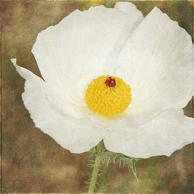 Photograph - Texas Prickly Poppy Wildflower by Renee Hong