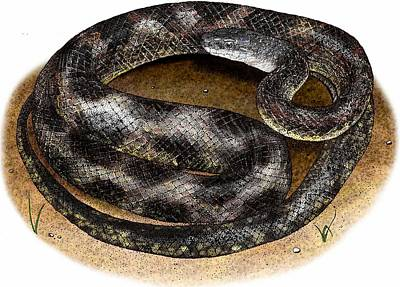 Photograph - Texas Rat Snake by Roger Hall