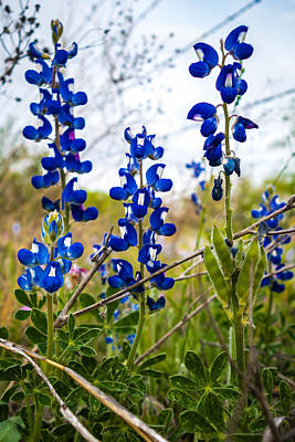 Photograph - Texas Roadside Wildflowers 094 by Melinda Ledsome