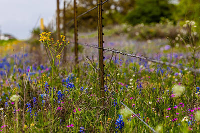 Photograph - Texas Roadside Wildflowers 746 by Melinda Ledsome