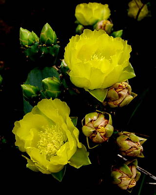 Photograph - Texas Rose Viii by James Granberry