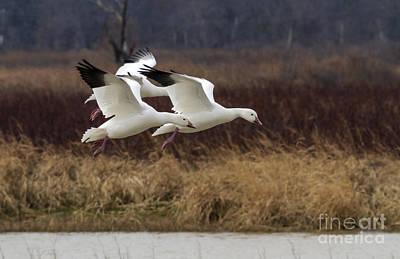 Texas Snow Geese Art Print