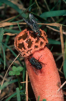 Photograph - Texas Stinkhorn Fungus by Gregory G. Dimijian, M.D.