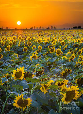 Sunflowers Royalty-Free and Rights-Managed Images - Texas Sunflowers by Inge Johnsson