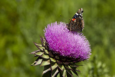 Texas Thistle And Butterfly Art Print by Mark Weaver