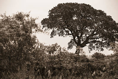 Photograph - Texas Tree Black And White by John McGraw