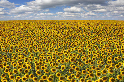 Texas Wildflower Images - June Sunflower Fields 8 Art Print by Rob Greebon