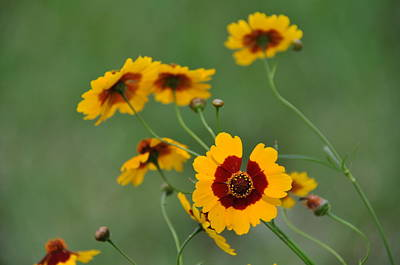 Photograph - Texas Wildflower by John Black