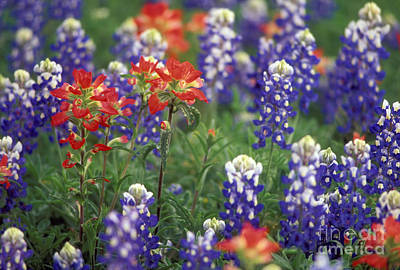 Photograph - Texas Wildflowers 2 - Fs000927 by Daniel Dempster