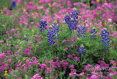 Photograph - Texas Wildflowers 3 - Fs000930 by Daniel Dempster