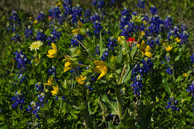 Texas Wildflowers Art Print by Kelly Kitchens