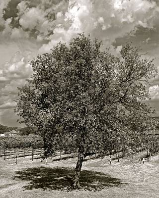 Photograph - Texas Winery Tree And Vineyard by Kristina Deane