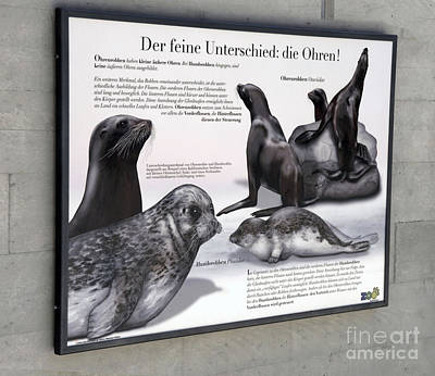 Painting - Text Example - Difference Between Eared Seals And True Seals  - Zoo Interpretive Panel by Urft Valley Art