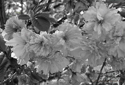 Photograph - Textured Black And White Cherry Blossoms by Gena Weiser