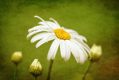 Digital Art - Textured Daisy by Trina  Ansel