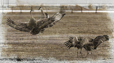 Photograph - Textured Dancing Cranes by Wes and Dotty Weber