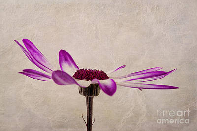 Texturised Senetti Pericallis Art Print by John Edwards