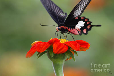 Photograph - Thai Butterfly Bliss by Nola Lee Kelsey