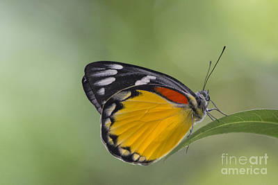 Photograph - Thai Jungle Butterfly by Nola Lee Kelsey