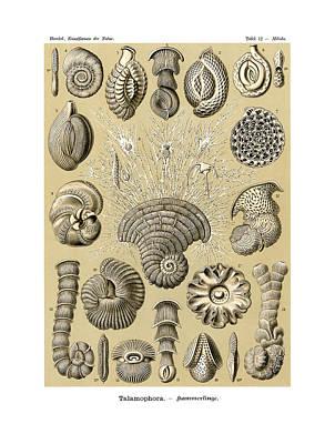 Art In Nature Drawing - Thalamophora by Ernst Haeckel