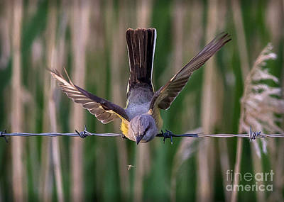Kingbird Photograph - That Bug Is Mine by Kim Michaels