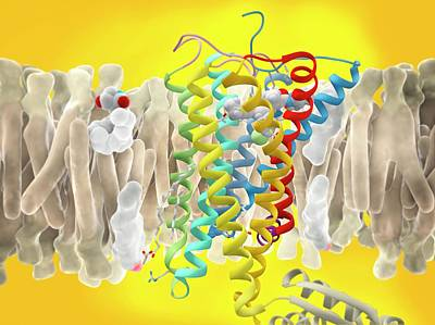 Cb1 Wall Art - Photograph - Thc Antagonist And Cb1 Receptor by Ramon Andrade 3dciencia/science Photo Library