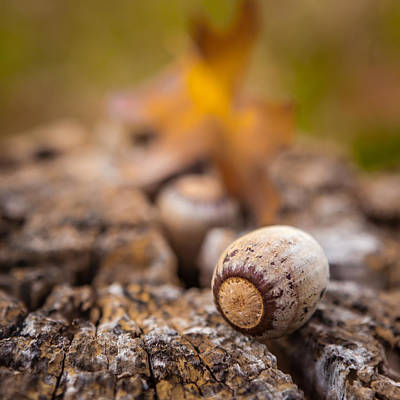 Photograph - The Acorn by Melinda Ledsome