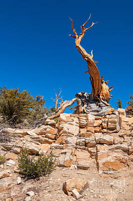 The Altar -the Ancient Bristlecone Pine Tree. Art Print by Jamie Pham
