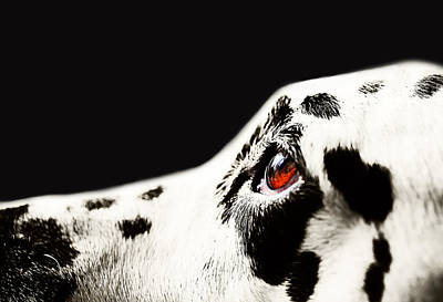 Photograph - The Amber Eye. Kokkie. Dalmation Dog by Jenny Rainbow